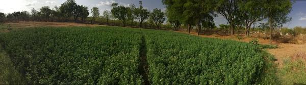 2016 lucerne plantation 600