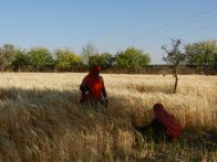 Jadan field harvest