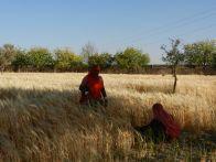 Jadan field harvest