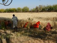 Jadan harvesting