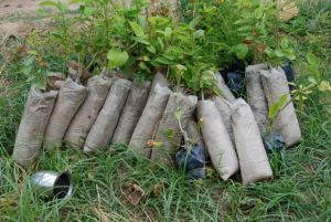custard apple saplings waiting for a rainy  day  so they can be planted 1200