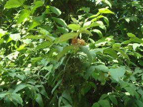 flowering rudraksha Elaeocarpus ganitrusopposite workshop