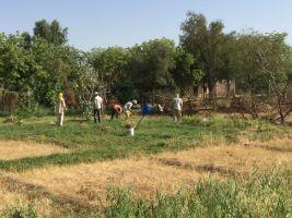 harvesting garlic after breakfast 600