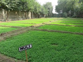 lucerne grass with mooli on borders 1200