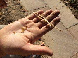 methi or fenugreek seeds 600