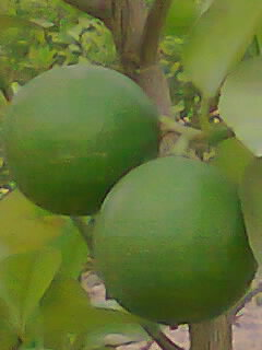 WE WILL HARVEST ACID LIMES IN JULY