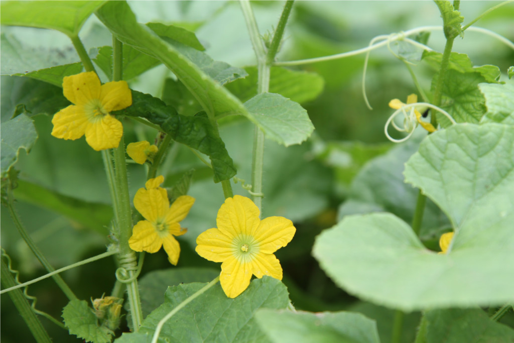 pretty flowers of tarkakri - Armenian cucumber.small