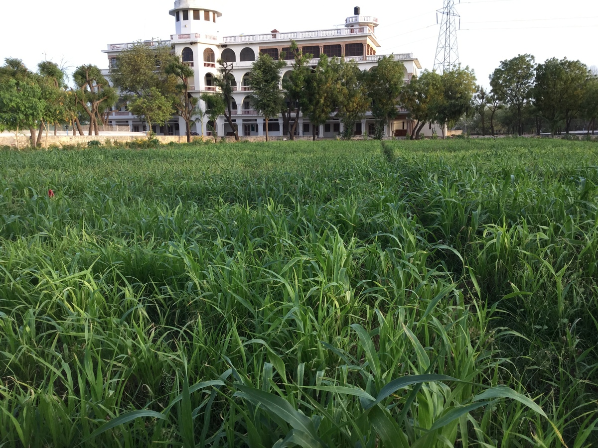 sorghum wheat in shiv bagh planted in March 1200