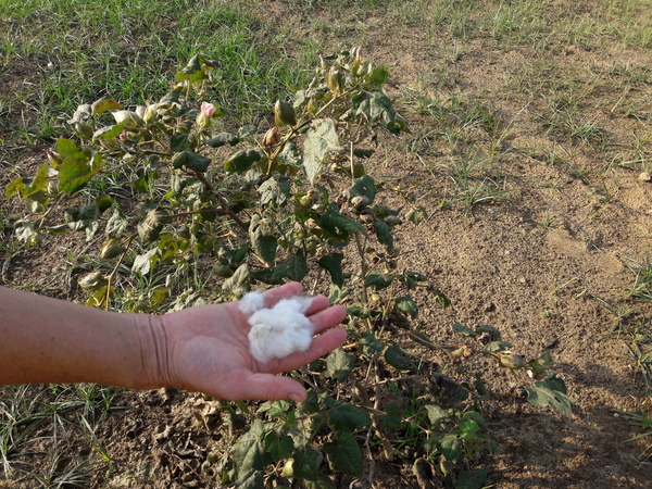 cotton ready to harvest 600