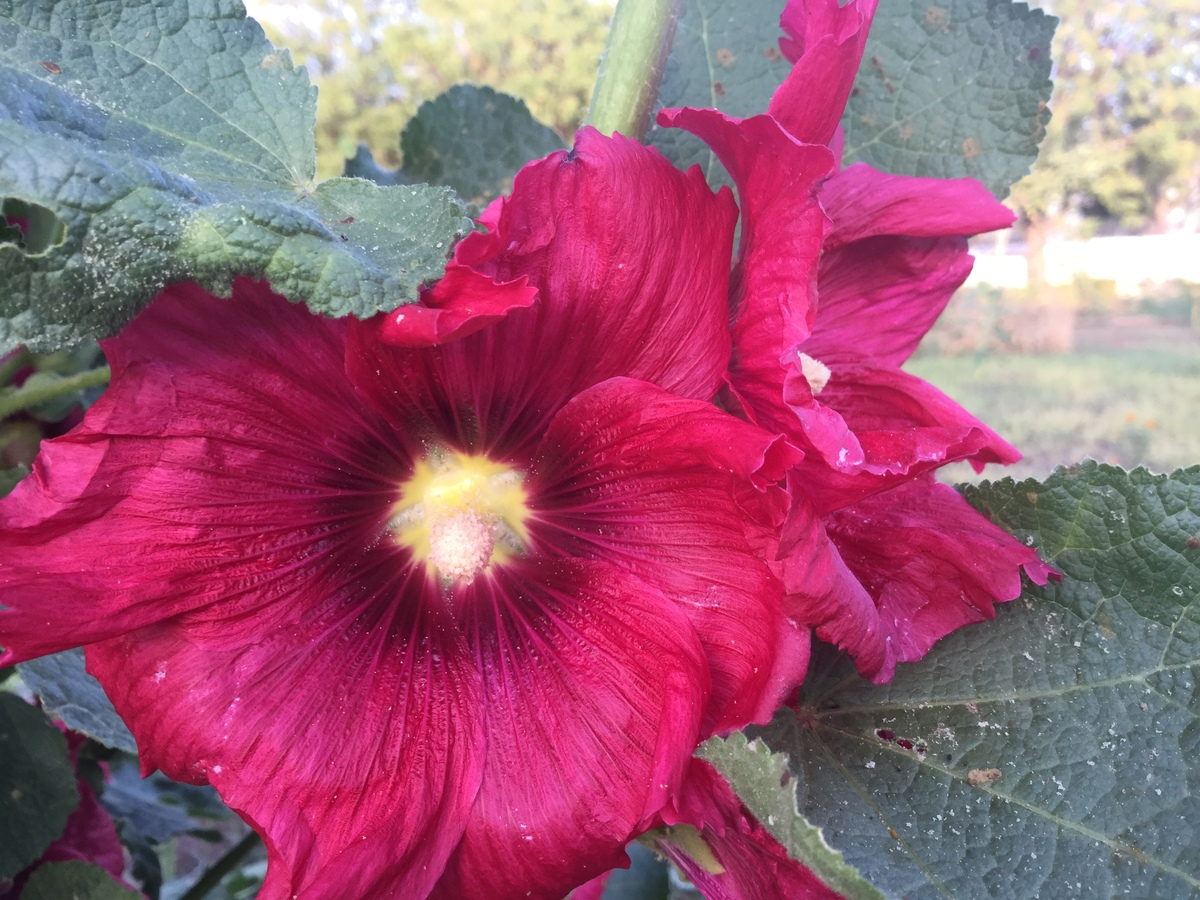 burgandy hollyhocks 1200