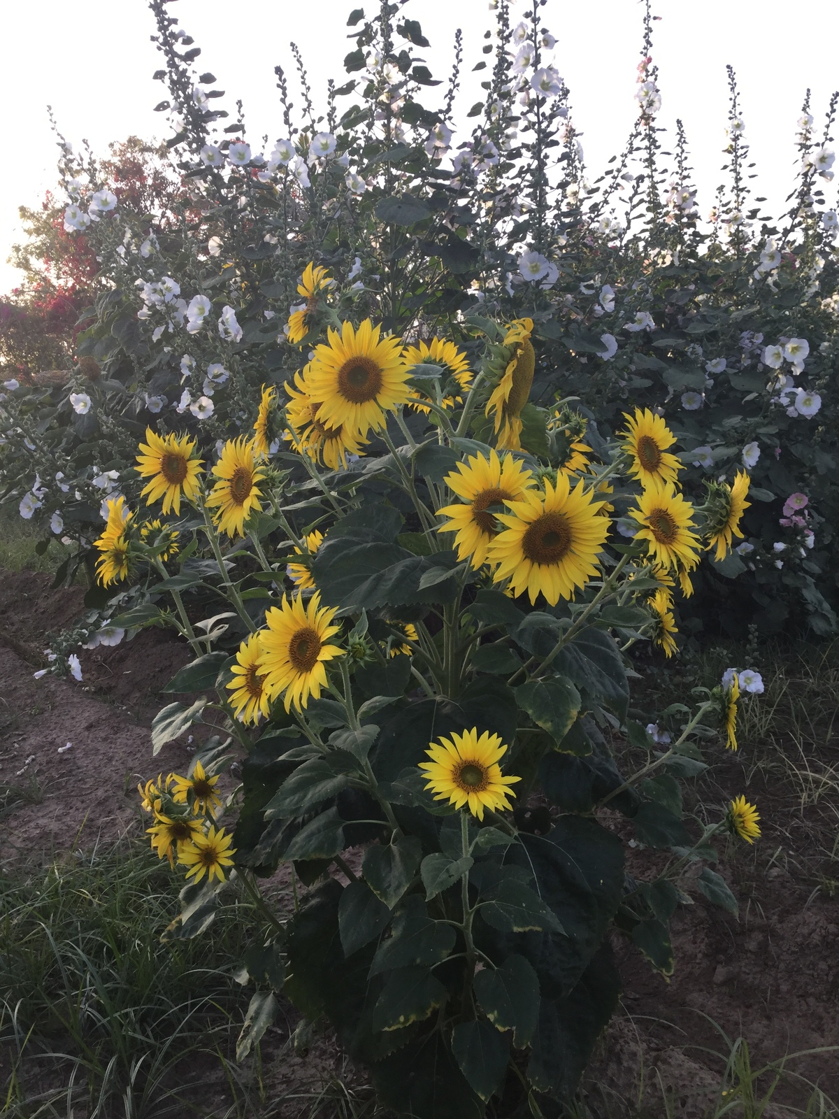 sunflowers 1200