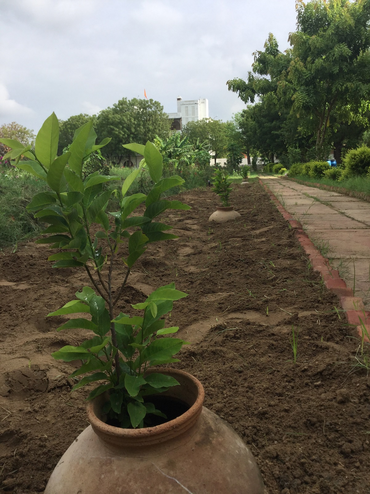 sitaphal saplings coming into their 3rd year
