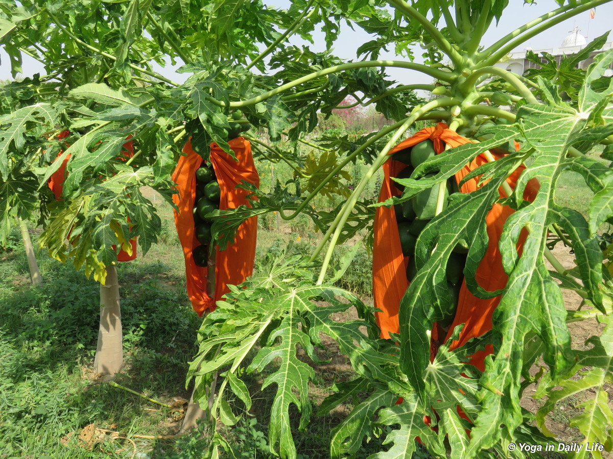 locals believe that using red or orange cloth over the fruitwill help to ripen it 72dpi 1200 wm