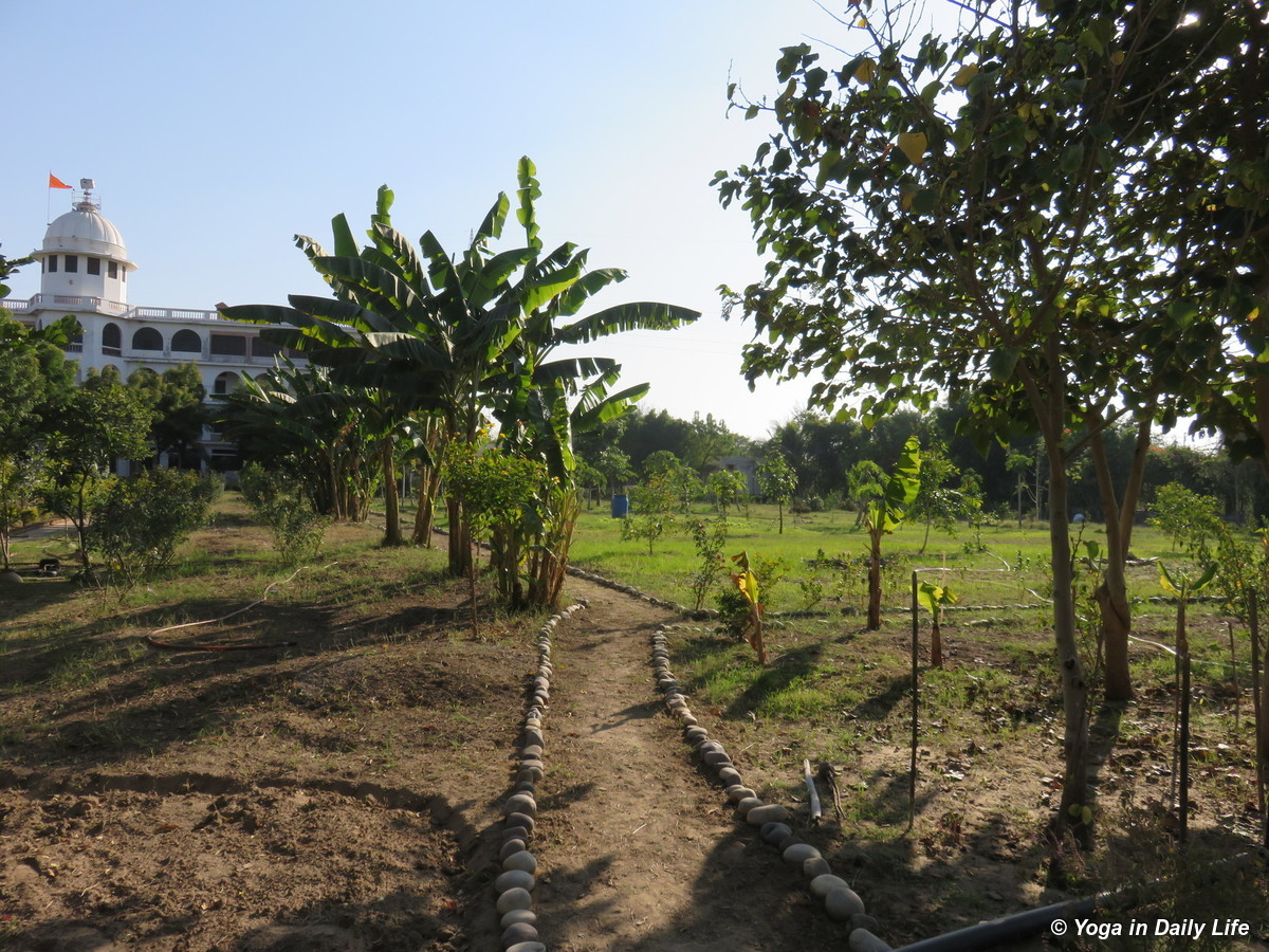 Neat and clean pathway and transplanted bananas