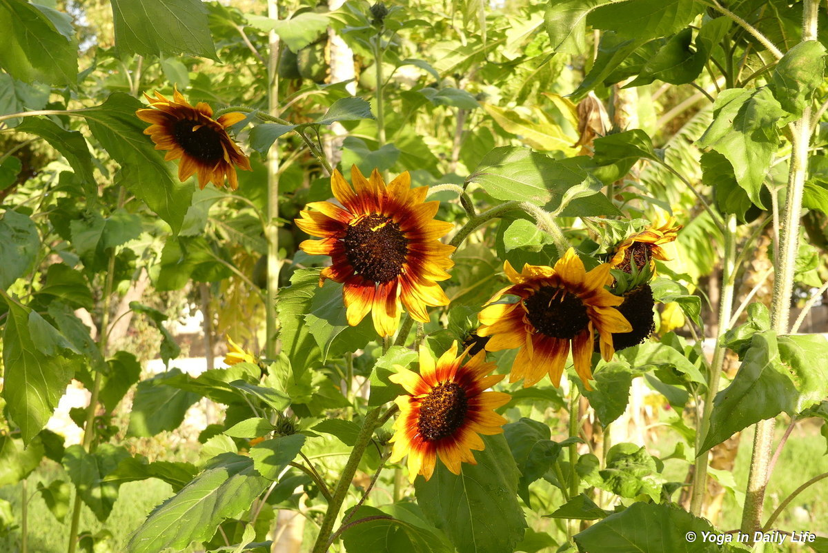 European variety of sunflower