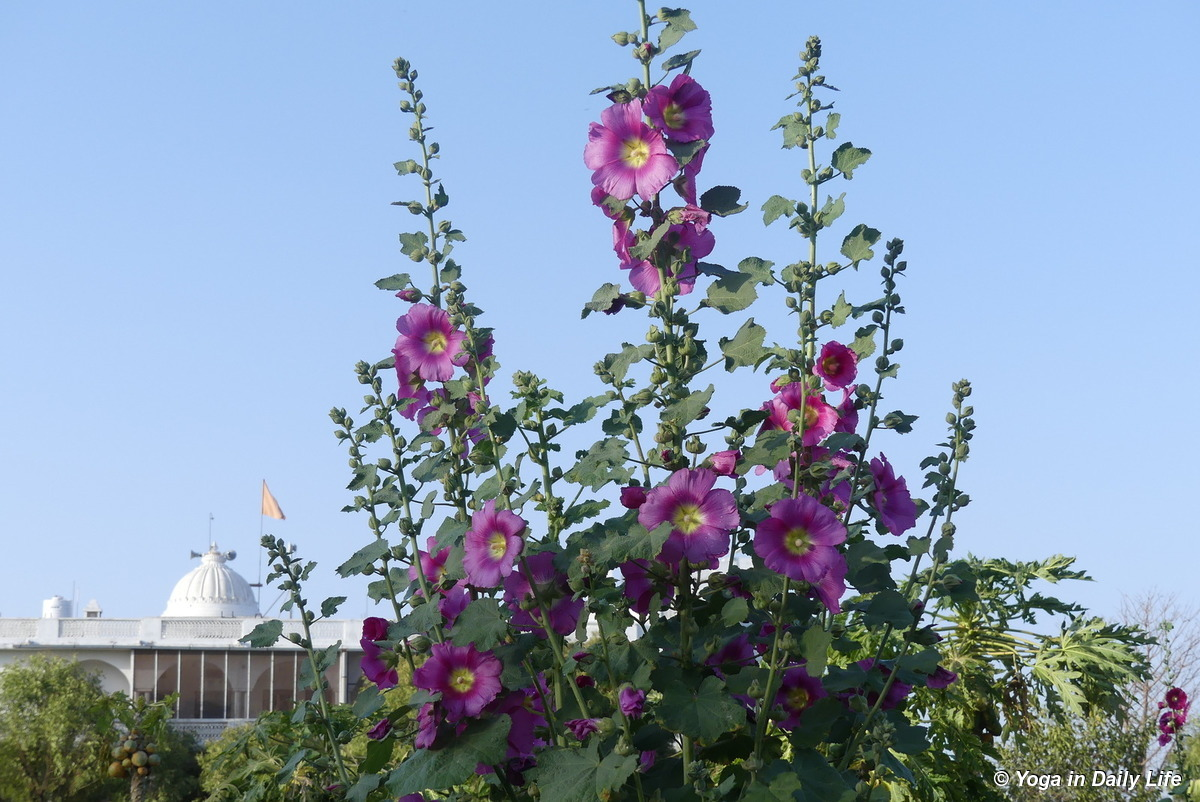 majestic hollyhocks
