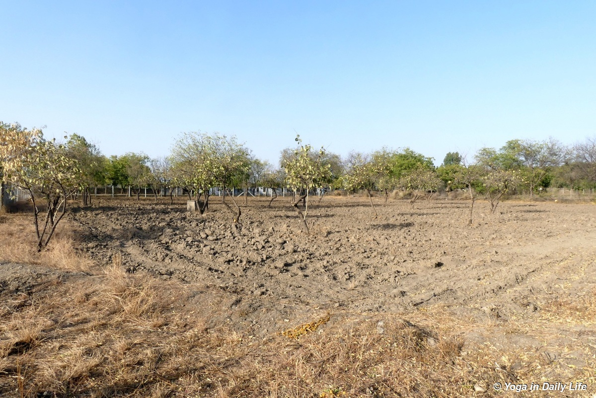 the gunda field was also disc ploughed and gundas pruned