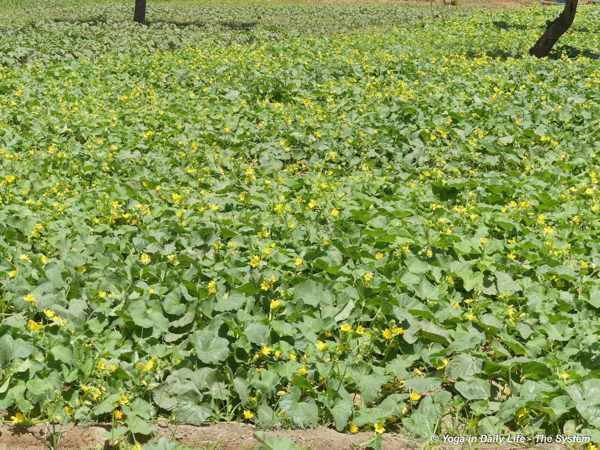 The best cucumber patch in Jadan history