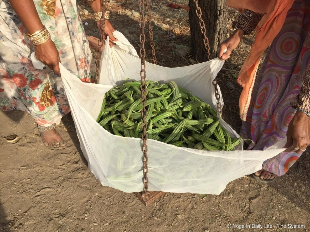 Ridge gourd being weighed