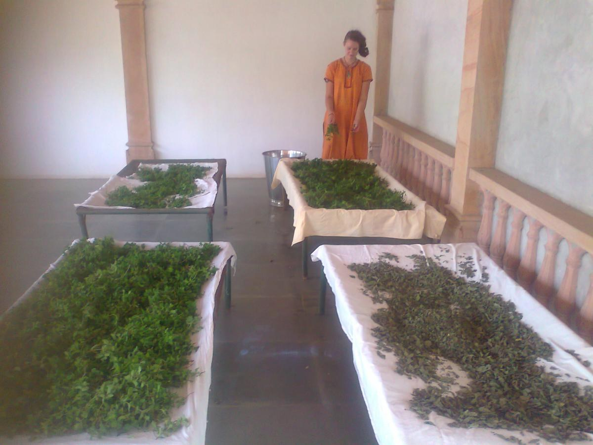DRY HOT SUMMER PERFECT FOR MINT DRYING