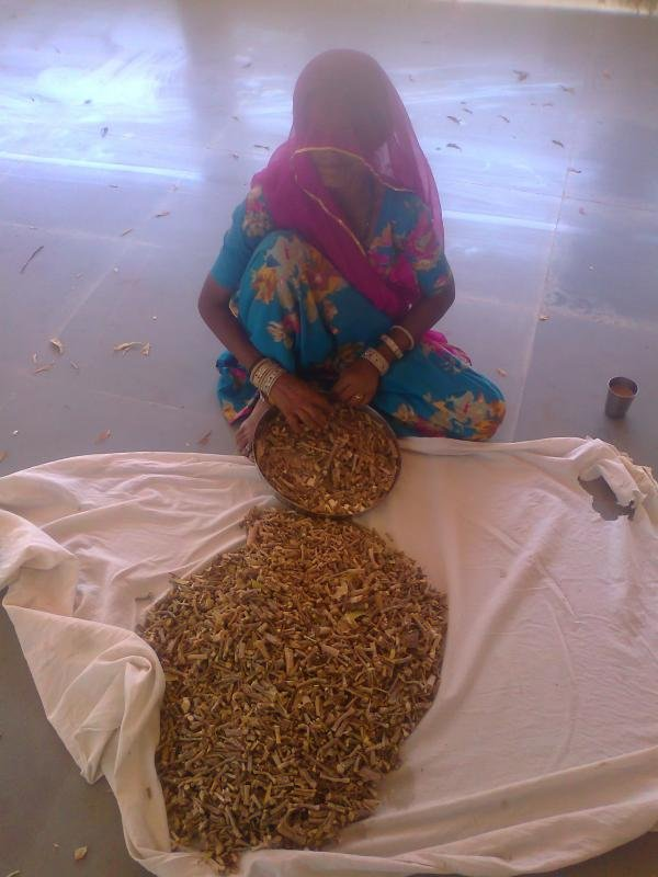 PREPARING NEEM GILOY FOR DRYING
