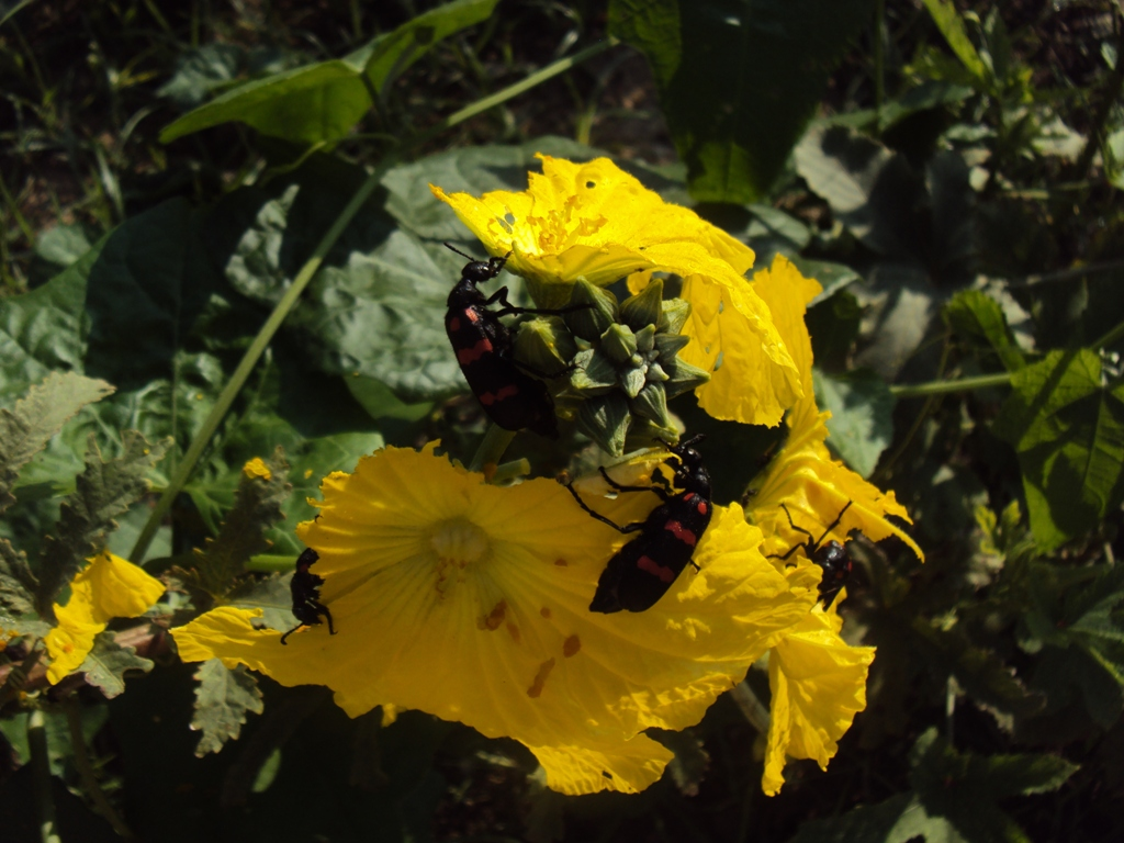 seasonal beetle which destroys sabji flowers