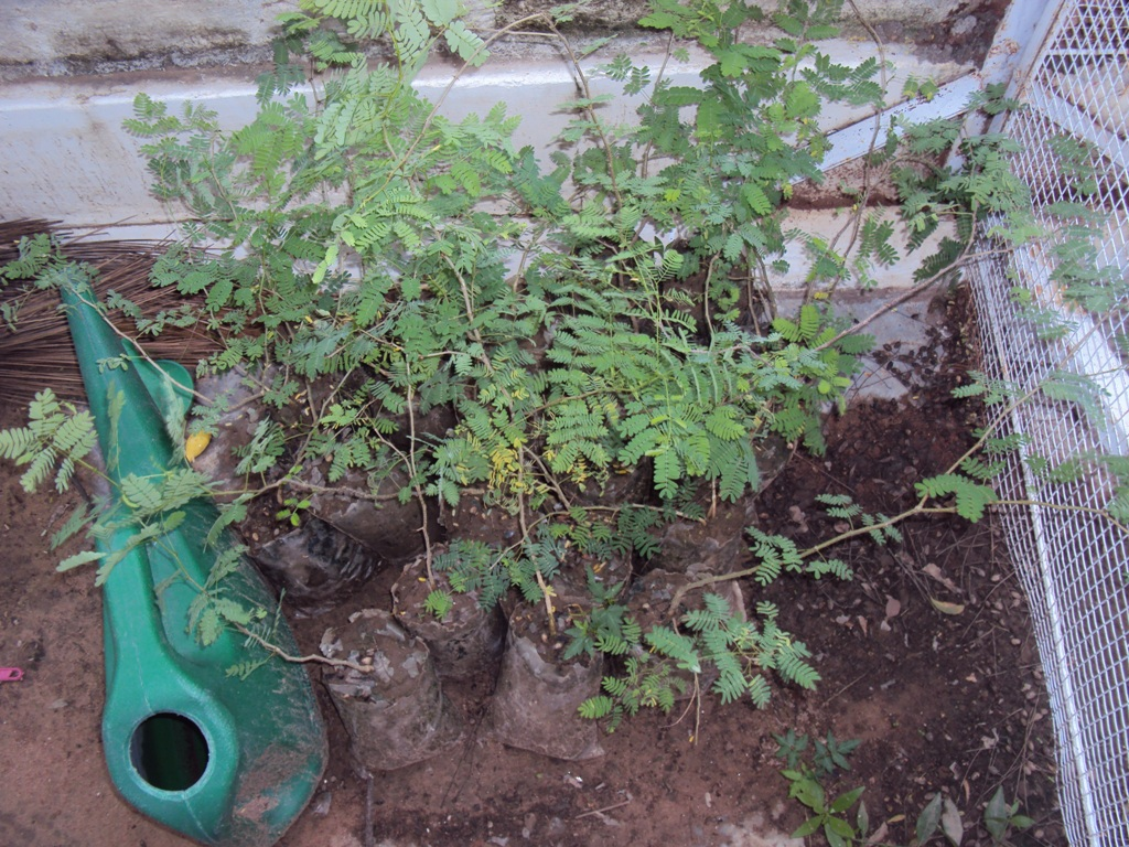 kumtiya acacia senegal saplings from 2011