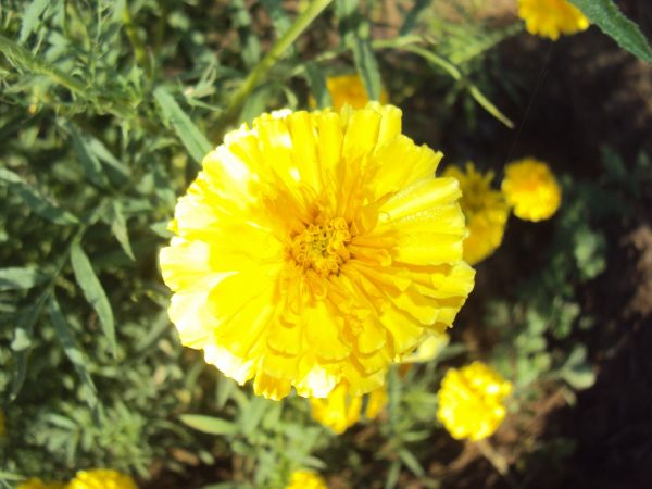 divine marigold for altars