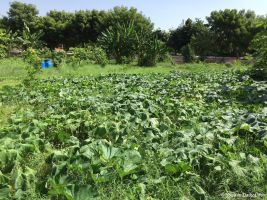 100kg of pumpkin harvested from this small area during the last days of September