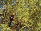 15 Branches of Khejri