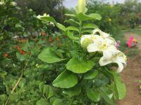 jasmine or mogra in bloom - 11 year old perennial