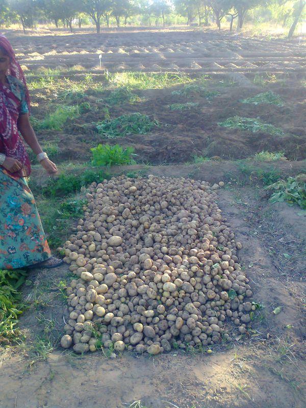200kg potato crop
