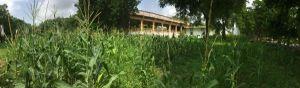 2017 corn plantation behind office 1200