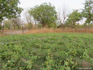 2018 cucumber plantation Big Garden