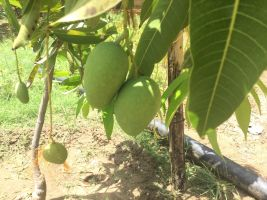 5 mangoes waiting for Gurudev