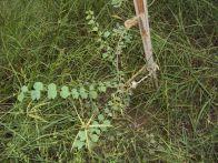 jinja native tree sapling