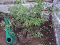 kumtiya acacia senegal saplings from 2011