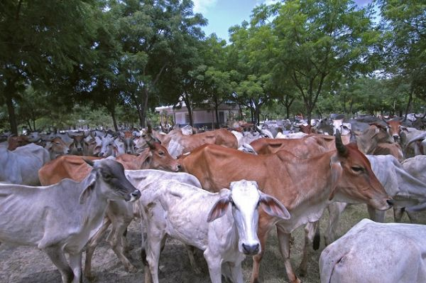 Deveshwar-Mahadev-gosala-23