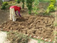 Dhapu carefully removing Bermuda grass roots from chilli area