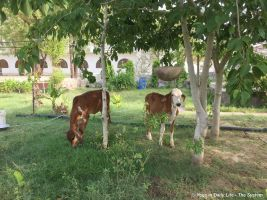 Lakshmi and Leela grazing beneath the mulberry trees