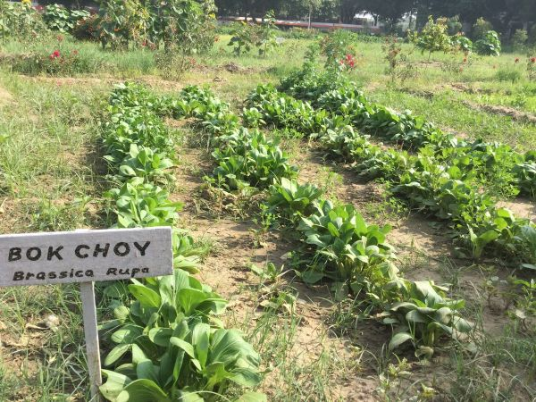 Pak choy grows easily October to January 1200