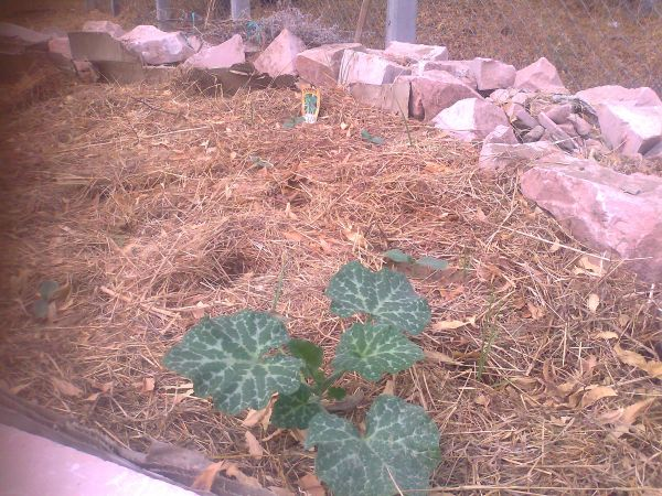 Pumpkins growing at a champion rate!