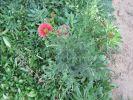 Pushkarmool - a medicinal and ornamental plant