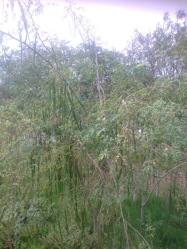 So many drumstick vegetables on our 2 year old Moringa oleifera trees