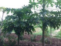an example of a healthy female papaya tree on the left
