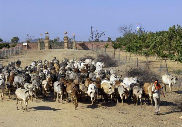 Gaushala - Animal refuge
