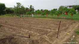 Area prepared for chawla cowpeas