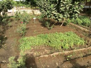 baby eggplants transplanted to rose area 600