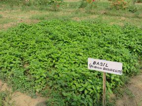 bio sweet basil 2nd generation seeds 1200