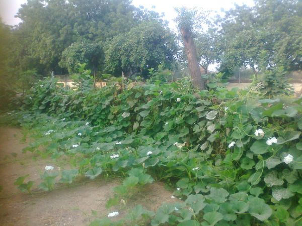 bottle gourd vines near workshop.small